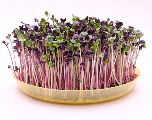 Microgreens RZODKIEWKA RED PURPLE